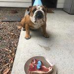 Hugo – British Bulldog
