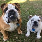 Hugo and Holly – British Bulldogs